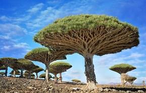 Dragon trees Yemen...