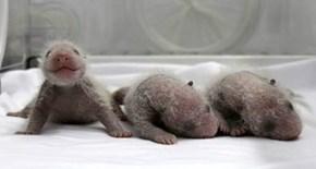 Triplet Baby Panda Bears