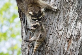 Mother Moves Baby Raccoon