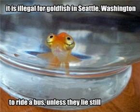 The Gold Fish on the Bus Go Slosh, Slosh, Slosh!
