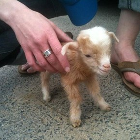 An Extra Mini Goat!