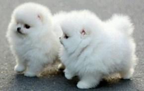 Pomeranian Puff