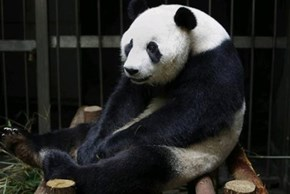 Phantom Pregnancy of the Day: Giant Panda Fakes Pregnancy to Receive Pampering