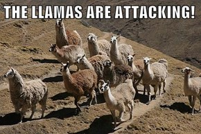 THE LLAMAS ARE ATTACKING!