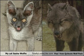 My cat Sasha Wolfie Totally Looks Like Paul  from Quileute Wolf Pack