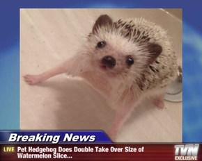 Breaking News - Pet Hedgehog Does Double Take Over Size of Watermelon Slice...