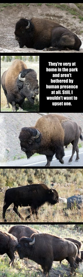 The Bison of Yellowstone