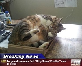 "Breaking News - Large cat becomes first ""Kitty Sumo Wrestler"" ever to exist!"