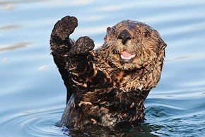 It's National Sea Otter Day, Let's Have A Caption Contest!