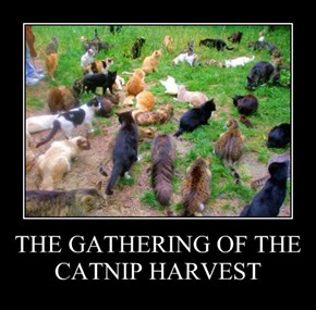 THE GATHERING OF THE CATNIP HARVEST