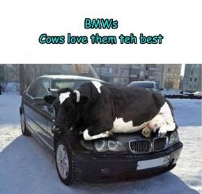 Cows luv em...