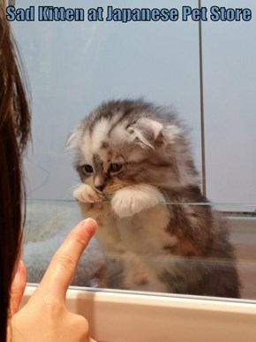 Sad Kitten at Japanese Pet Store