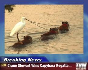 Breaking News - Crane Stewart Wins Capybara Regatta...