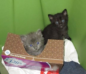 kittens playing in tissue box