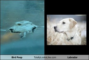 Bird Poop Totally Looks Like Labrador