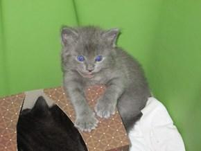grey kitten resting during playtime
