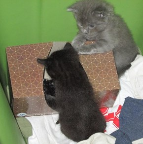 gray kitten referees as his sibs fight