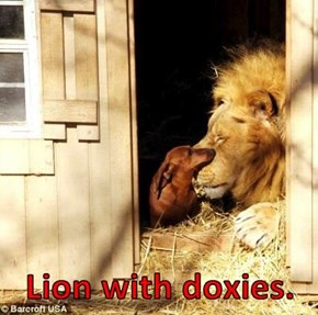 Lion with doxies.
