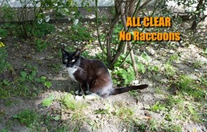 ALL CLEAR  No Raccoons