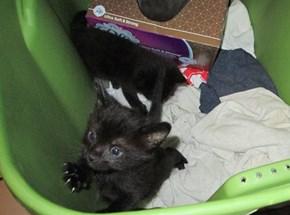 black kitten ready to escape