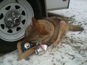 Wolves Loe Beer