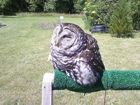 PSA: Your Owl Might Melt in Direct Sunlight