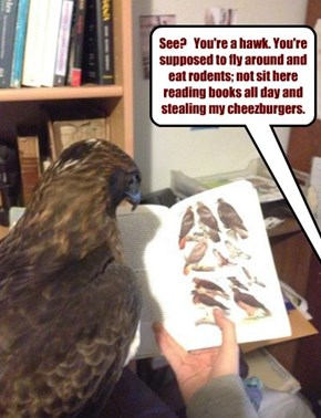 See?   You're a hawk. You're supposed to fly around and eat rodents; not sit here reading books all day and stealing my cheezburgers.