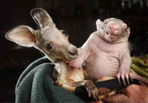 An Orphaned Joey and Baby Wombat Cuddle Up Together