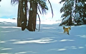 Animal of the Day: Rare Sierra Nevada Red Fox Found in Yosemite National Park