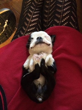 This Adorable Boston Terrier Puppy Will Make Your Day Squeeful