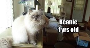 Beanie  allcats' kittie