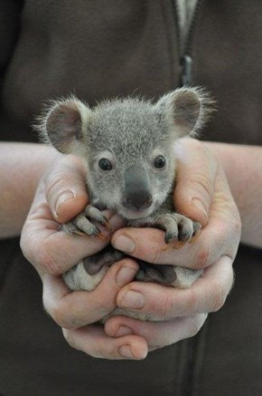 Proof Koalas Are Even Cuter When They Are Tiny