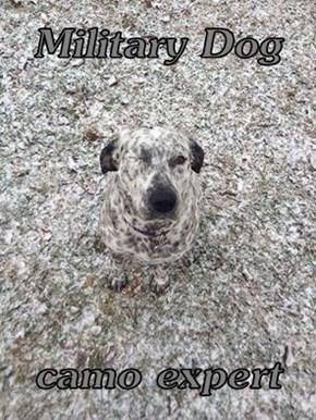 Military Dog  camo expert