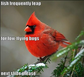 fish frequently leap  for low-flying bugs next slide please