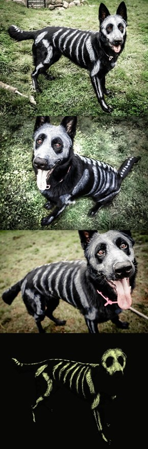 This Skele-pooch is Going to be Glowing Come Halloween!