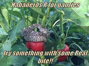 Habaneros R for panzies   try something with some Real bite!!