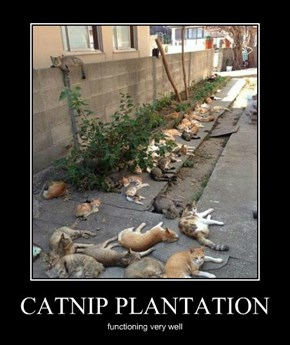 CATNIP PLANTATION