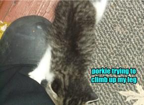 porkie trying to climb up my leg
