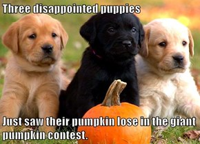 Three disappointed puppies  Just saw their pumpkin lose in the giant pumpkin contest.