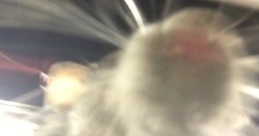 WTF of The Day: Brooklyn Rat Climbs on Sleeping Man, Takes a Rat Selfie