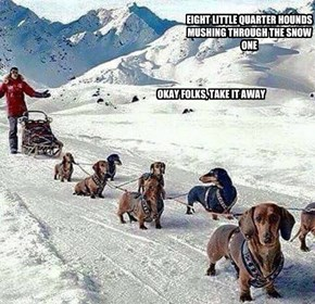 EIGHT LITTLE QUARTER HOUNDS MUSHING THROUGH THE SNOW ONE
