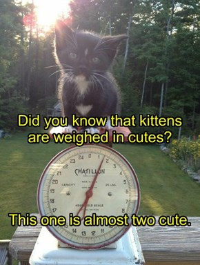 Did you know that kittens are weighed in cutes?     This one is almost two cute.