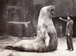 Goliath the Elephant Seal