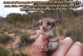Instead of the regular POSSUM DROP for the New Year, here's a cute, little, PYGMY Possum from Australia for GOOD LUCK and Sweet Blessings to us ALL in 2016 ♥                                                                   LoL