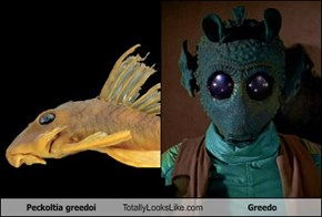 Peckoltia greedoi Totally Looks Like Greedo