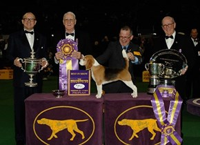Miss P the Beagle Won Best in Show at Westminster