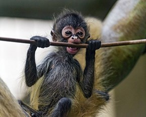 If This Tiny Monkey Can Hang In Through This Monday, So Can You