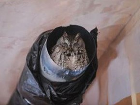 Owl found living in Oakville home gently evicted