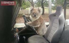 Koala Tries to Steal Family's Land Rover