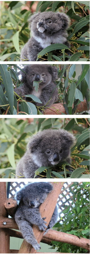 Meet Archer the Fluffiest Little Koala Baby!